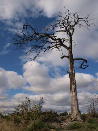 Lonely dry tree photo