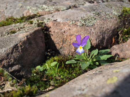 Opportunistic pansy flower sprouting between rocks photo