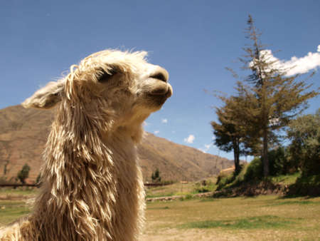 Arrogant alpaca portrait photo