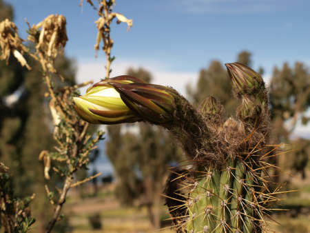 Cactus flower bud photo