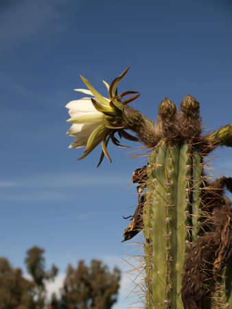 White cactus flower photo