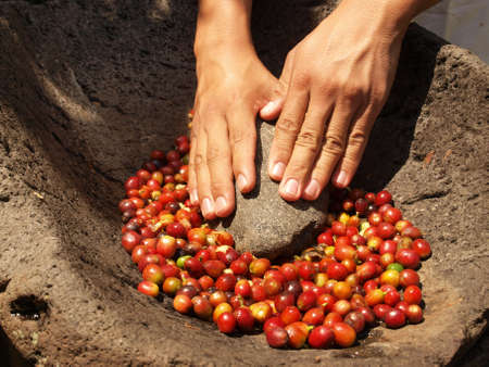 coffee harvest: Grinding coffee berries in hand mortar