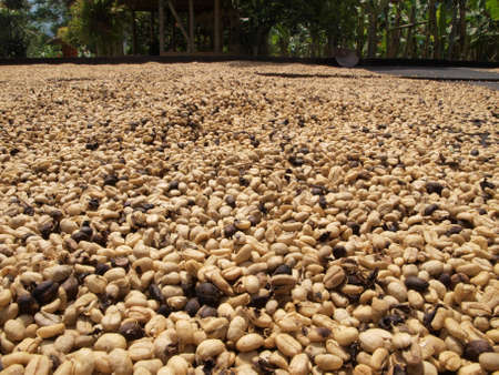 green bean: Coffee beans drying in the sun at production farm