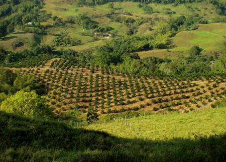 planta de cafe: Plantación de café paisaje
