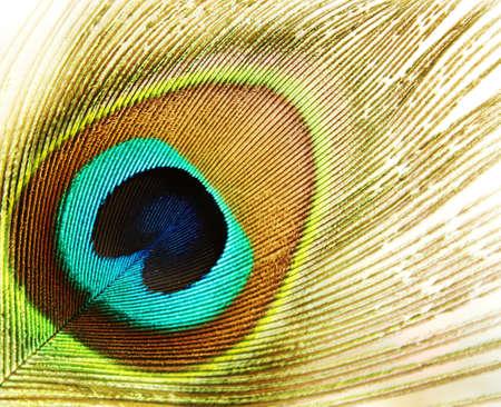 pavo real: plumas de pavo real  Foto de archivo