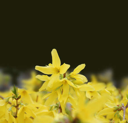 stock image: Yellow blooms against dark background