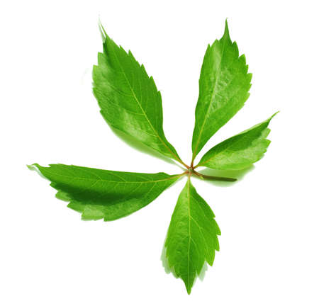 Green leaf isolated on white Stock Photo - 9878465