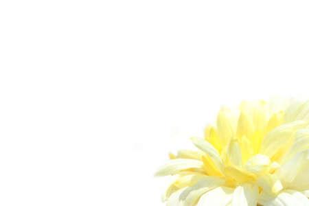 flower isolated on white backgrund photo