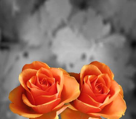 rosas naranjas: Flores de naranja