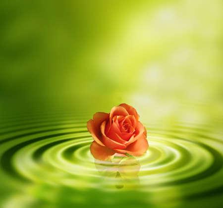 Rose in het water