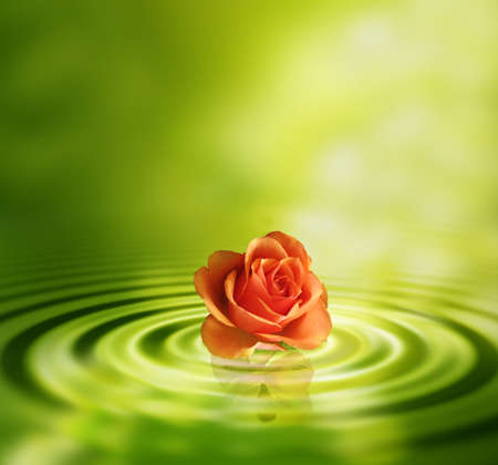 orange rose: Rose in water