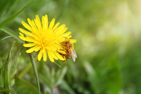 bee sip nectar from yellow flower photo