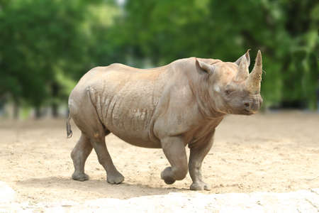 a Southern white square-lipped Rhinoceros Stock Photo