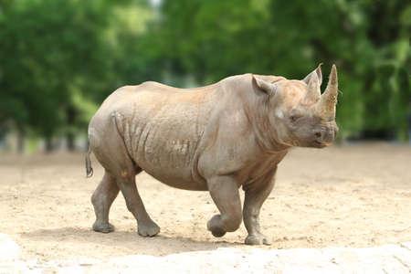 a Southern white square-lipped Rhinoceros Reklamní fotografie