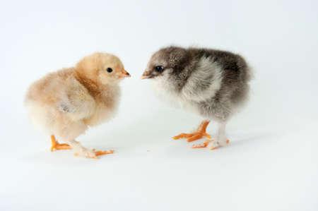 litle: Litle chiken on white backgraund