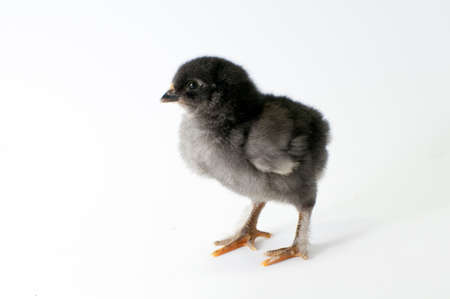 chiken: Litle chiken on white backgraund