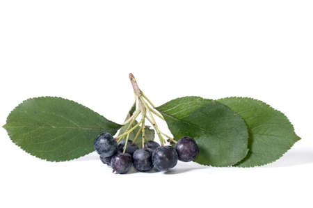 bacca: Black chokeberry - aronia on a white background Stock Photo