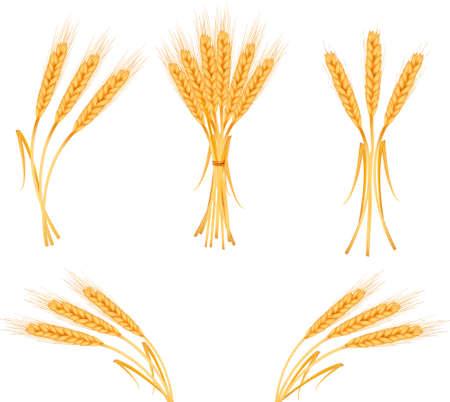 thresh: Orejas de trigo amarillo madura, ilustraci�n vectorial agr�cola