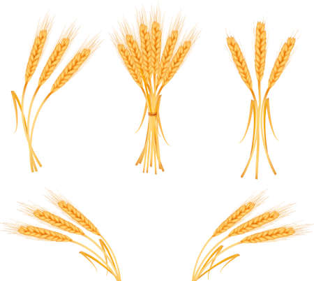 barley: Ripe yellow wheat ears, agricultural vector illustration