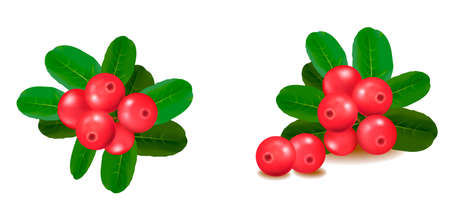 Cranberries with leaves. illustration. Stock Vector - 8791784