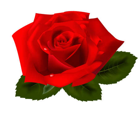 Beautiful red rose on a white background. illustration.