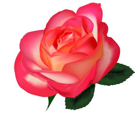 Bello Rosa de té sobre un fondo blanco. Vector.
