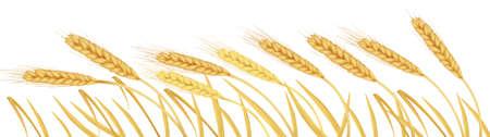 thresh: Orejas de trigo amarillo madura  Vectores