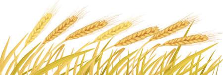sheaf: Las espigas de trigo