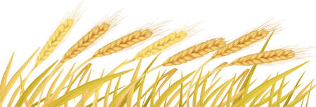 sheaf: The ears of wheat  Illustration