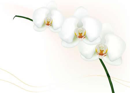 美しい白蘭白で隔離されます。