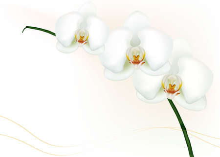 Beautiful white orchid isolated on white.   Vector