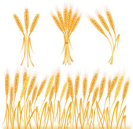 cebada: Orejas de trigo amarillo madura, ilustraci�n agr�cola  Vectores
