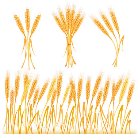 Ripe yellow wheat ears, agricultural illustration