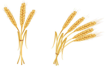 cereal plant: The ears of wheat. Vector.