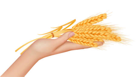 grain field: Wheat ears in the hand.Harvest concept. Vector.  Illustration