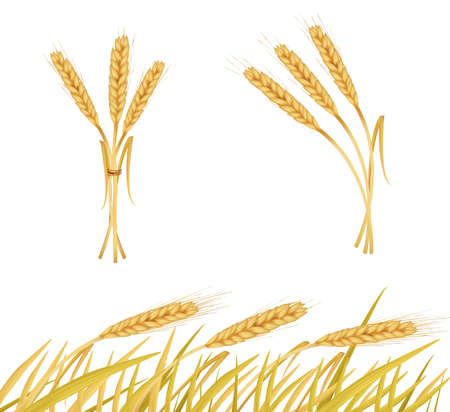sheaf: Las espigas de trigo. Vector.