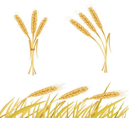 The ears of wheat. Vector.  Vector