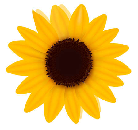 stamens: Beautiful yellow Sunflower. Vector illustration