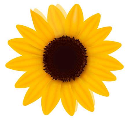 sunflower seed: Beautiful yellow Sunflower. Vector illustration
