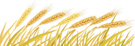 The ears of wheat. Vector. Stock Vector - 9335302