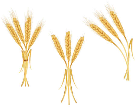 wheat isolated: Some ears of wheat. Vector.  Illustration