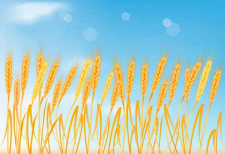 thresh: Orejas de trigo amarillo madura en el cielo azul. Ilustraci�n vectorial.