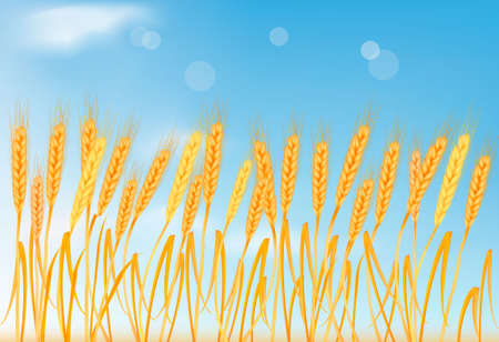 thresh: Ripe yellow wheat ears on the blue sky. Vector illustration.