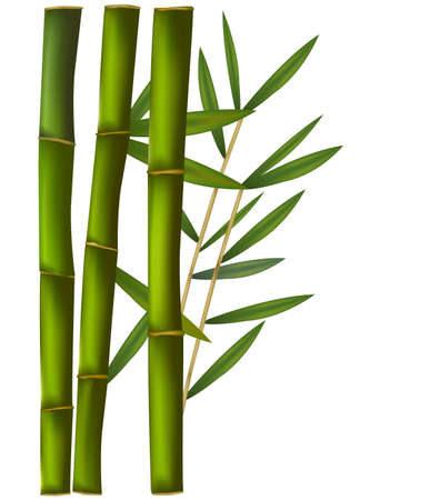 lucky plant: bamboo on the green and white background. Illustration