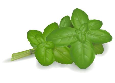 Basil leaves.  Vector