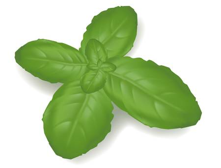 Basil leaf isolated on on white background. Photo-realistic vector illustration.  Vector