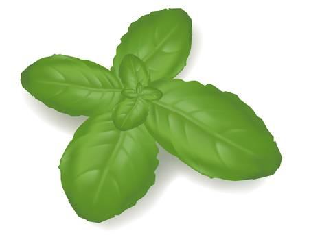 basil: Basil leaf isolated on on white background. Photo-realistic vector illustration.  Illustration