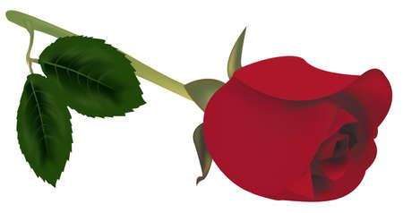 빨간 장미 녹색 나뭇잎입니다.