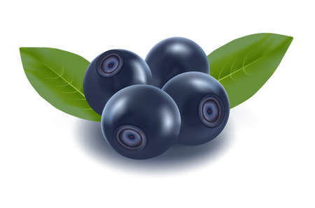 bilberry: the blueberries with the green leaves.  Illustration