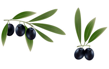 Three branches of black olives.  Vector